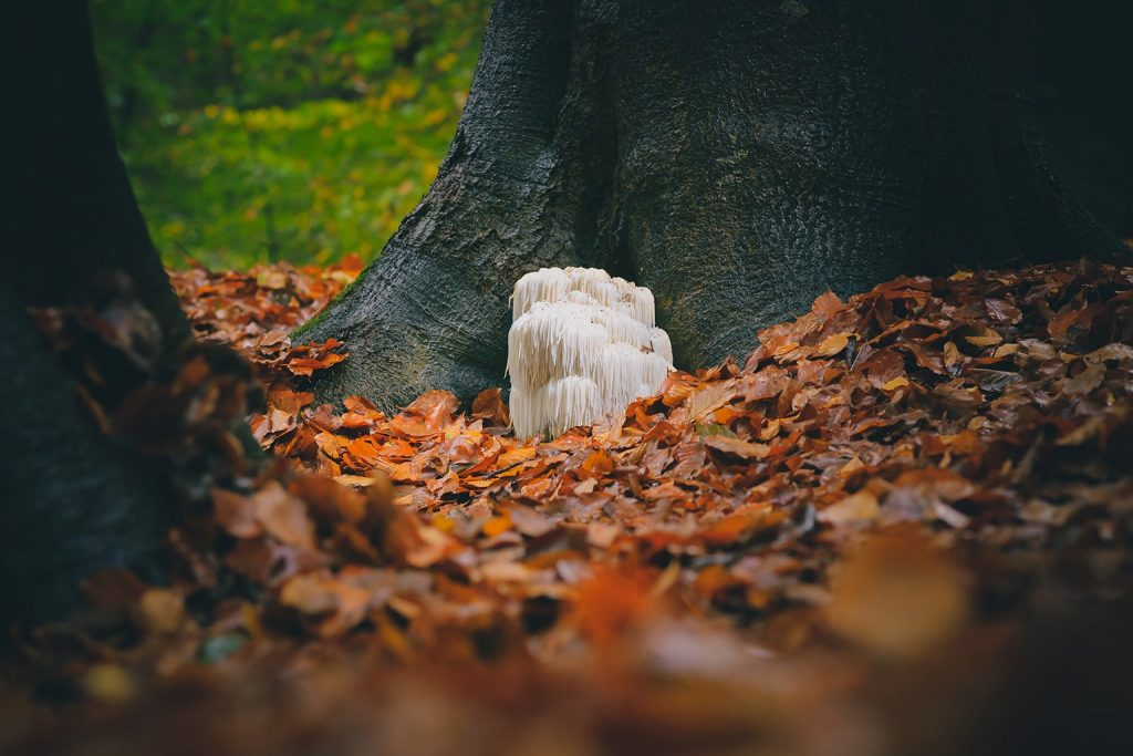 Hedgehog or Lion's Mane mushroom
